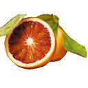柑橘類の苗 【 ブラッドオレンジ 1年生苗木 】 [ 雑柑 オレンジ かんきつ カンキツ 柑橘 苗 ]