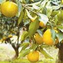 柑橘類の苗 【 じゃばら 1年生苗木 】 [ 雑柑 オレンジ かんきつ カンキツ 柑橘 苗 ]