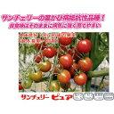 ミニトマト 種 【サンチェリーピュア】 100粒 ( 種 野菜 野菜種子 野菜種 )
