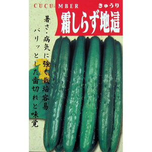 きゅうり 種 【霜しらず地這】 小袋 ( 種 野菜 野菜種子 野菜種 )