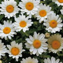 クリサンセマム 種 【 パルドサム ホワイト 】 小袋 ( クリサンセマムの種 花の種 )