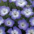 ネモフィラ 種 【 インシグニスブルー 】 小袋 ( ネモフィラの種 花の種 )