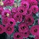 ユーストマ 種 【 F1 ラ・フォリア 】 小袋 ( ユーストマの種 花の種 )