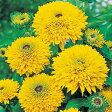 ルドベキア 種 【 マヤ 】 小袋 ( ルドベキアの種 花の種 )