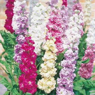 ストック 種 【 切り花用早生系 混合 】 実咲小袋 ( ストックの種 花の種 )