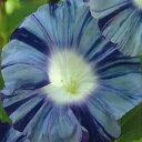 朝顔 種 【 青竜 】 小袋(約15粒) (朝顔の種 花の種 )