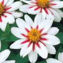 百日草(ジニア) 種 【 ザハラ スターライトローズ 】 小袋 ( 百日草(ジニア)の種 花の種 )