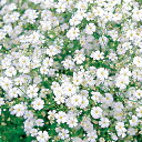 かすみ草 種 【 コベントガーデンマーケット 】 実咲小袋 ( かすみ草の種 花の種 )