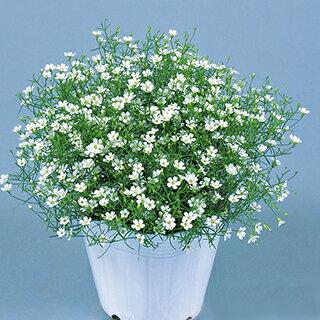 ジプソフィラ かすみ草 種 【 ジプシー ホワイト 】 1000粒 ( ジプソフィラ かすみ草の種 花の種 )