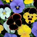 ビオラ 種 【 混合 】 小袋 ( ビオラの種 花の種 )