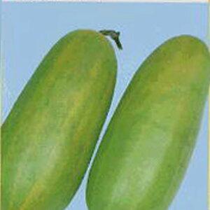 ウリ苗 【 沼目白瓜 】 苗 4本 【 ウリ苗 予約販売】<br> [ まくわ瓜 野菜 苗 通販 野菜苗 販売 ]