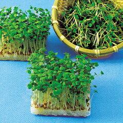 スプラウト 種 【 ロケット(ルッコラ) 】 種子 小袋(約40ml) ( 種 野菜 野菜種子…