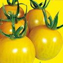 トマト 種 【 ミニトマト きら〜ず 】 500粒 ( トマトの種 )