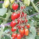 ミニトマト 種 【シシリアンルージュCF】 100粒 ( 種 野菜 野菜種子 野菜種 )