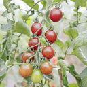 ミニトマト 種 【トスカーナバイオレットCF 】 100粒 ( 種 野菜 野菜種子 野菜種 )