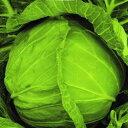 キャベツ 種 【 新緑 】 2500粒 ( キャベツの種 )