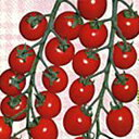 ミニトマト 種 【チャプリン2号】 1000粒 ( 種 野菜 野菜種子 野菜種 )