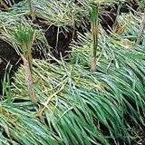 緑肥 種 【 えん麦 極早生スプリンター 】 1kg ( 緑肥の種 )