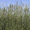 緑肥 種 【 ライ麦 R−007 】 1kg ( 緑肥の種 )