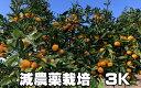 こだわり 汐風みかん 1.5kg 減農薬栽培 果物・野菜ソムリエ★が作る 【送料無料】海水散布!高級サンゴ散布でミネラルたっぷり! 美味しいミカン・九州 熊本 蜜柑 おいしいくて 甘く 糖度