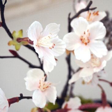 ★NEW★『苔玉 -桜-』(お皿付き)