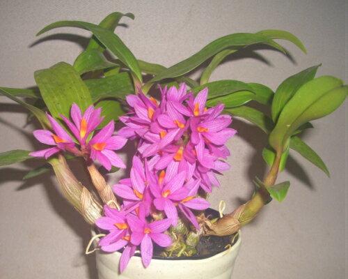 花・観葉植物, 鉢花 Den.Hibiki .
