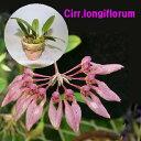 野中洋蘭園で買える「Cirr.longiflorumシルホぺタラム ロンギフロラム5000円以上購入で送料無料。」の画像です。価格は1,650円になります。