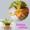 Panisea. uniflora  パニセア属 ユニフローラ 1
