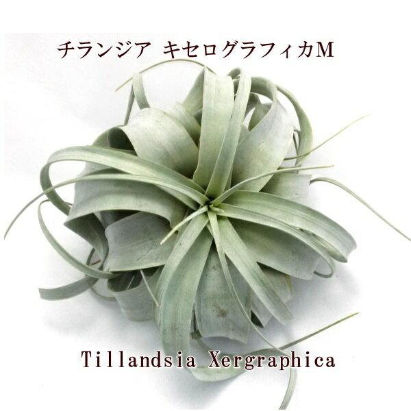エアープランツ チランジア キセログラフィカ M(15〜18cm前後) エアプランツ