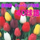 【特用袋】チューリップ球根40球詰(4色×10球入)