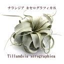 エアープランツ チランジア キセログラフィカ Sサイズ(12〜14cm前後)【大型商品との同梱...