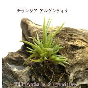 エアプランツ チランジア アルゲンティナ ミニクランプ(3〜5cm前後) エアープランツ