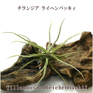 エアプランツ チランジア ライヘンバッキィ(10〜12cm前後) ライチェンバッキー エアープランツ
