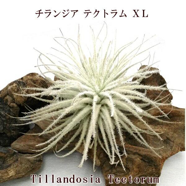 エアプランツ チランジア テクトラムXL (12〜13cm) エアープランツ