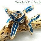 【希少】旅人の木の種実一房【全長15cm位】【形・サイズのバラつきあります】