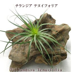 エアプランツ チランジア テヌイフォリア (10〜12cm前後) エアープランツ