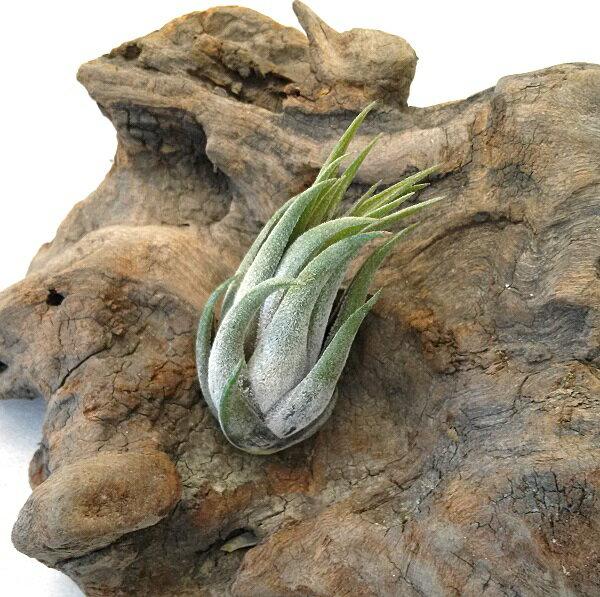 エアプランツ チランジア コルビー(スカポーサ)(6〜7cm前後) エアープランツ