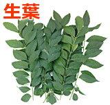 【生産者様直送】無農薬 国産 カレーリーフの葉 生葉 約230g 大容量