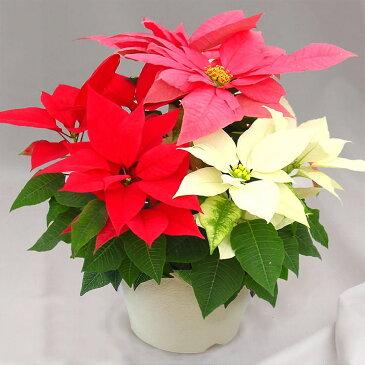 ポインセチア 「クリスタル7号」◆お歳暮、クリスマスギフト、プレゼント用のギフトに最適。◆ひと鉢に3色寄せ植えした欲張りな仕立て。カラフルさが売り。