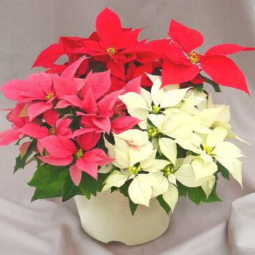 ポインセチア「クリスタル8号」◆お歳暮、クリスマスギフト、プレゼント用のギフトに最適◆ひと鉢に3色寄せ植えした欲張りな仕立て。驚くほどのボリューム感