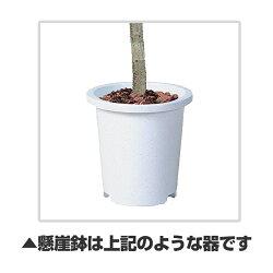 [StylishGreen]ポトスヘゴ高さ900mmSSサイズ鉢:懸崖6号