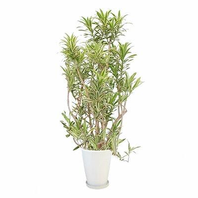 観葉植物 生木 樹木 ソング・オブ・インディオ 陶器付き 高さ約1800mm Lサイズ:激安オフィス家具オフィスコム