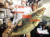 特価品!【Cat Fish Cussion/キャットフィッシュ クッション】