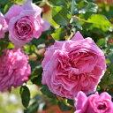 バラ苗:アブデル(新苗予約)7号鉢植え  四季咲き中輪房咲き系(フロリバンダロー…