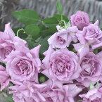 パープル レイン(大苗)7号鉢植え 四季咲き大輪系(ハイブリッドティーローズ) 河本バラ園 Kawamoto Brand Roses バラ苗
