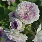 ブルー・ムーン・ストーン(大苗)7号鉢植え 四季咲き バラ苗 河本バラ園 Kawamoto Brand Roses