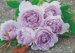 【バラ苗 ハイブリッドティーローズ】ルシファー(二年生国産大苗)7号鉢植え