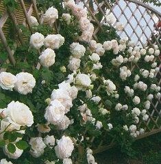 【バラ苗 つるバラ】ブラン ピエール ドゥ ロンサール(春の新苗)7号鉢植え