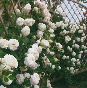 【バラ苗 つるバラ】ブラン ピエール ドゥ ロンサール(二年生国産大苗)7号鉢植え つるバラ