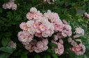 ボニー(大苗)7号鉢植え つるバラ バラ苗